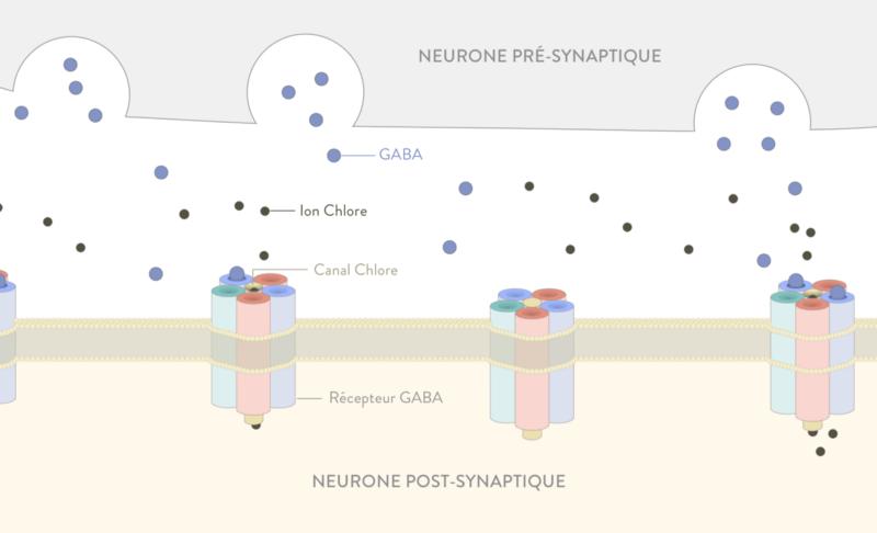 neurone pré-synaptique fonctionnement somnifère