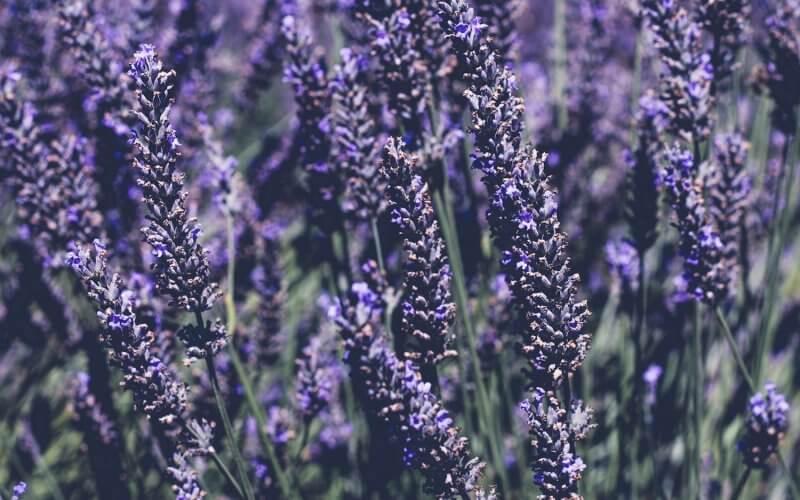 lavender : natural sleep aids